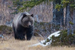 Grizzly Bow summit.ashx  300x200 Jasper National Park Wildlife Videos